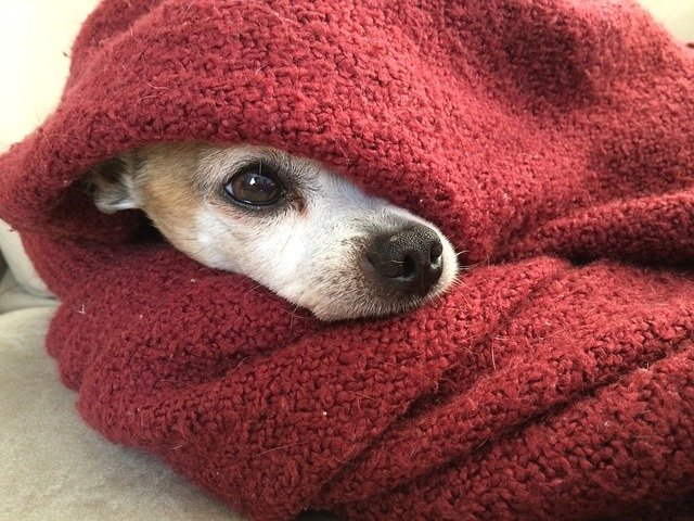 A dog with anxiety might hide in blankets.