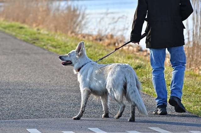 A dog that is limping on one back leg could have a torn or diseased ligament.