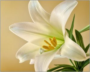 Easter lilies are a species of lily that are toxic to cats.