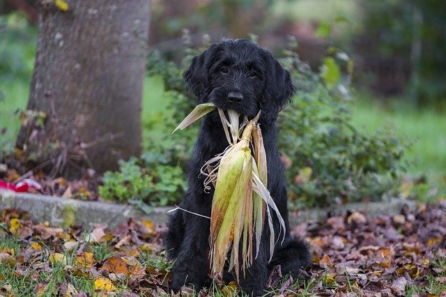 Is Corn Bad in My Dog's Diet?