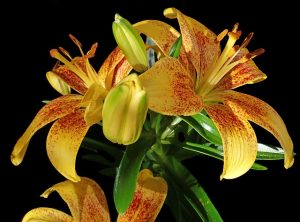 Asiatic lilies are also very toxic to cats