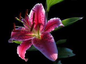 Starfire lilies are another toxic flower species that cats should avoid.